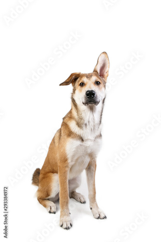 Photo Studio shot pf a happy adult large mixed breed golden color dog sitting with a s