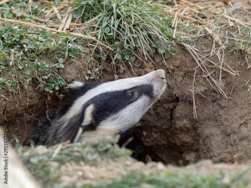Leinwand Poster Badger (meles meles) peeping out a hole