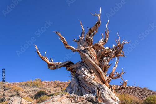 Leinwand Poster Bristlecone Pine Tree