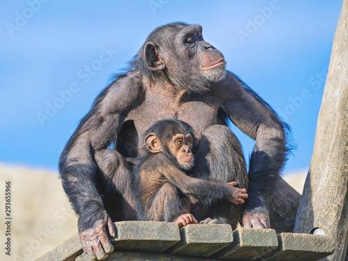 Cuadros en Lienzo Two chimpanzees on the platform