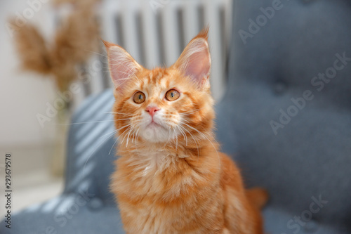 Canvas Print red cat sitting on a chair. Red cat Maine Coon