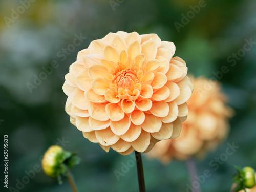 Billede på lærred Pompon or ball Dahlias | Beautiful decorative dahlia flower with magnificent blu