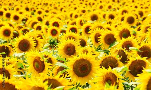 Fotografia sunflower field background