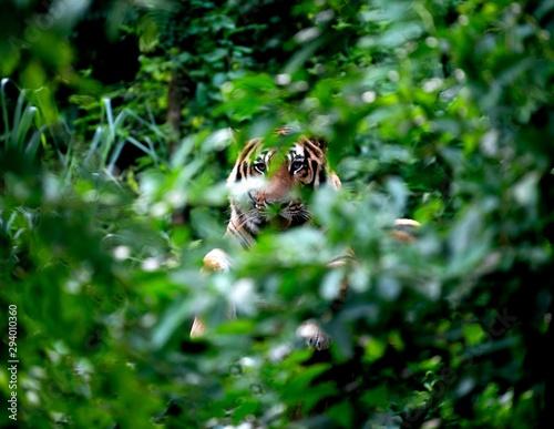 Billede på lærred bengal tiger resting among green bush