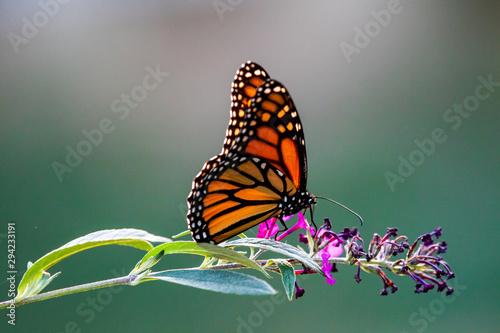 Stampa su Tela butterfly on flower