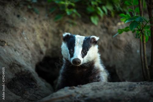 Fotomural Badger, (Scientific name: Meles Meles) wild, native badger, facing forward and emerging from the badger sett