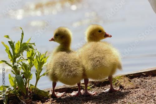 Obraz na plátne A pair of Canada/Emden Goose hybrid goslings standing side by side