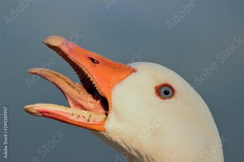 A feral male Emden Goose (Anser anser domesticus) mid hiss. Poster Mural XXL