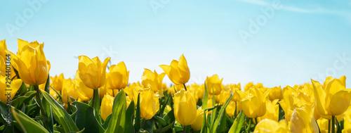 Naklejki na meble Żółte tulipany pod błękitnym niebem