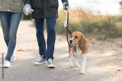 pet, domestic animal and people concept - couple walking with beagle dog on leas Fototapeta