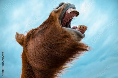 Fototapeta Funny and crazy Icelandic horse. the dark blue Icelandic sky