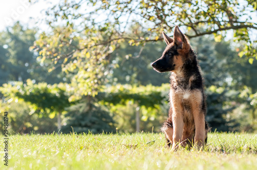 Canvas Print A german shepherd puppy sitting on the grass of a backyard