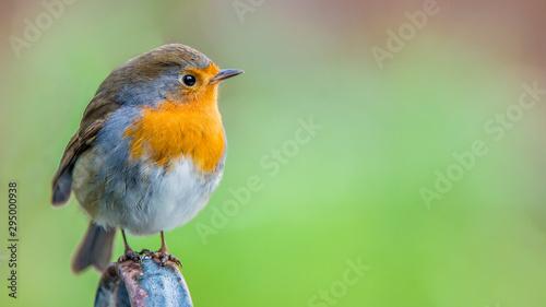 Photo European robin (Erithacus rubecula)