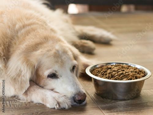 Fotografia Sad golden retriever dog get bored of food.