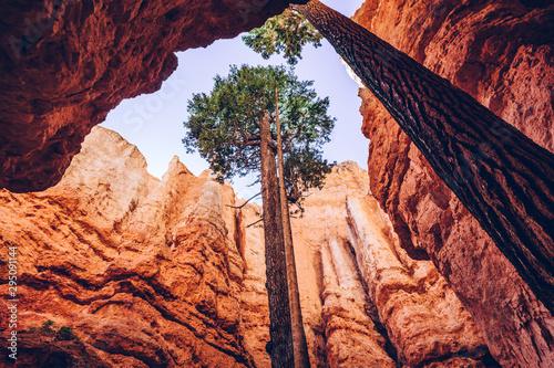 Fotografering Bryce Canyon, Utah, USA. Single trees