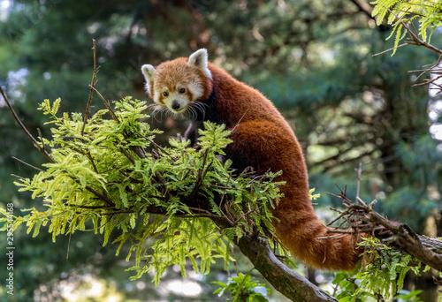 Fotografia Red Panda