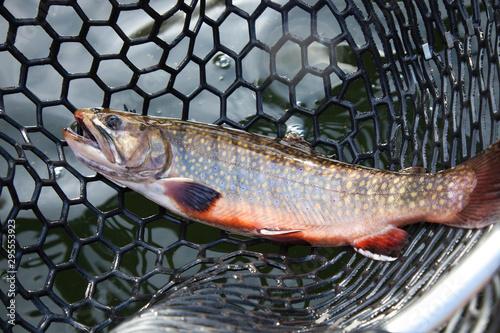 Vászonkép Male brook trout in a landing net