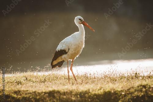 Stampa su Tela stork in habitat