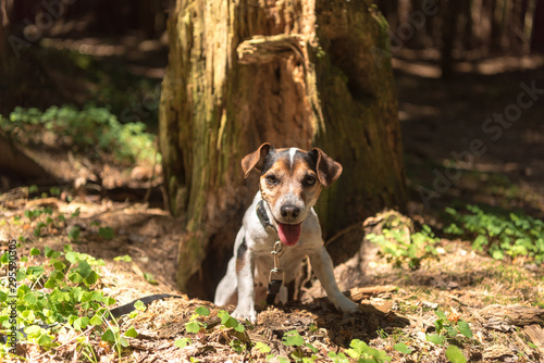 Fotografia Cute Jack Russell Terrier hunting dog is looking out of a cave
