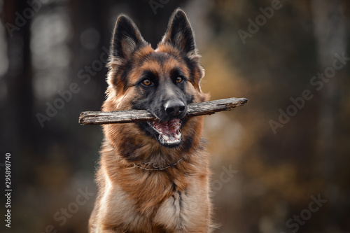 Canvas Print close portrait of beautiful young long haired female german shepherd dog running