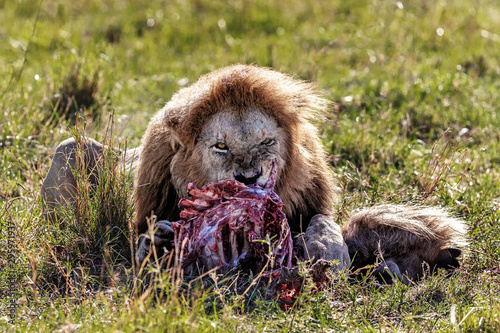 Foto Male Lion Eating Wildebeest Carcass