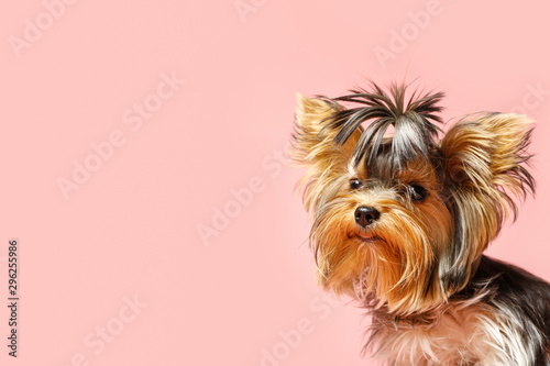 Canvas Print Adorable Yorkshire terrier on pink background, space for text