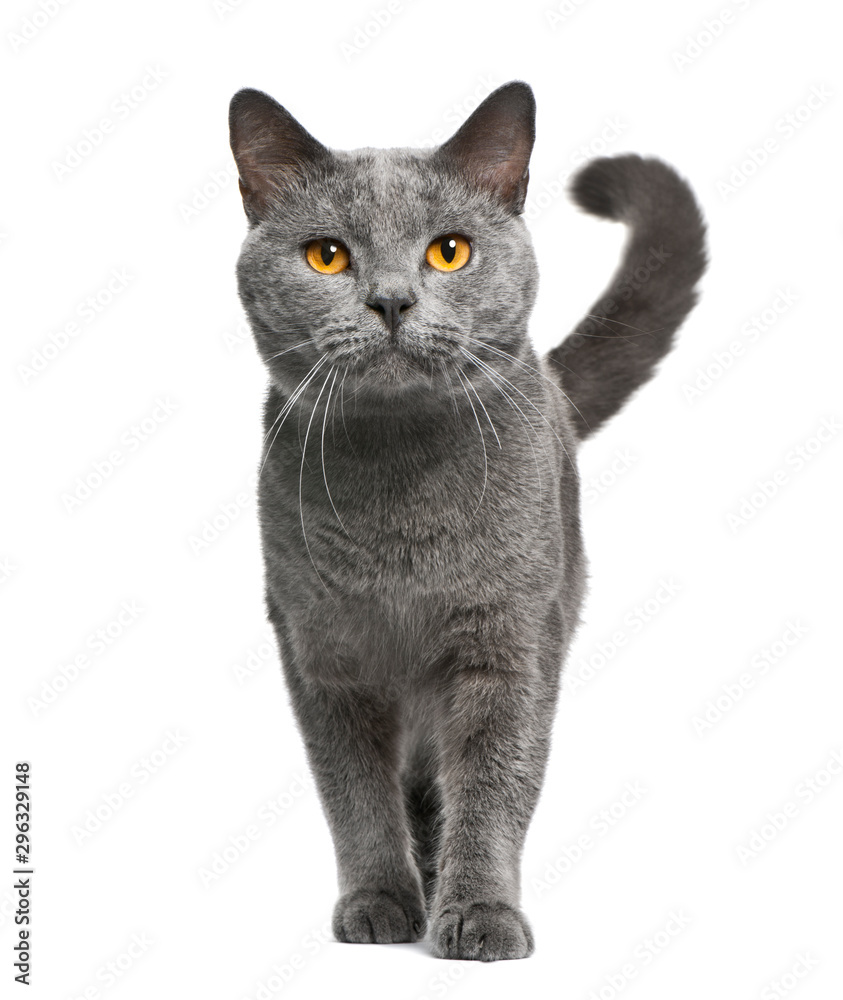 Chartreux cat, 16 months old, standing in front of white background <span>plik: #296329148 | autor: Eric Isselée</span>
