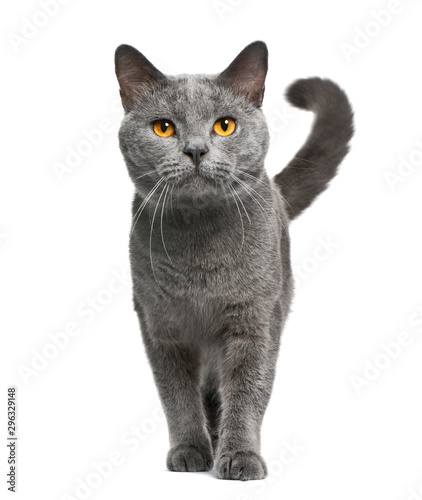 Chartreux cat, 16 months old, standing in front of white background