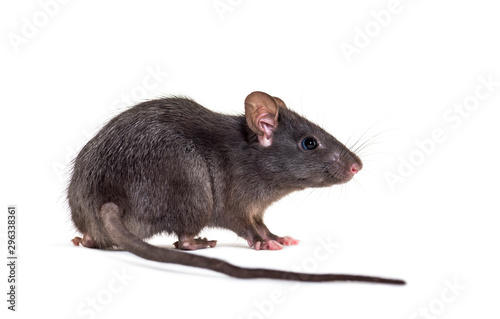 Fotografia Black rat, Rattus rattus, in front of white background