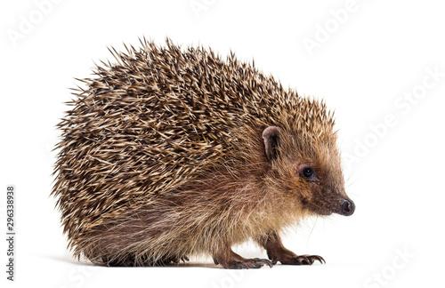 Fotografia, Obraz European hedgehog, Erinaceus europaeus