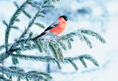 bright bullfinch bird sits on a spruce branch covered with snow in a festive new Fototapeta