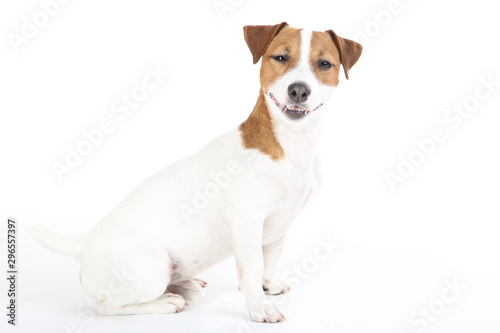 Obraz na płótnie Beautiful Jack Russell Terrier dog isolated on white background