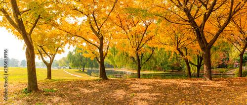 Fotografija Beautiful yellow ginkgo tree in autumn garden