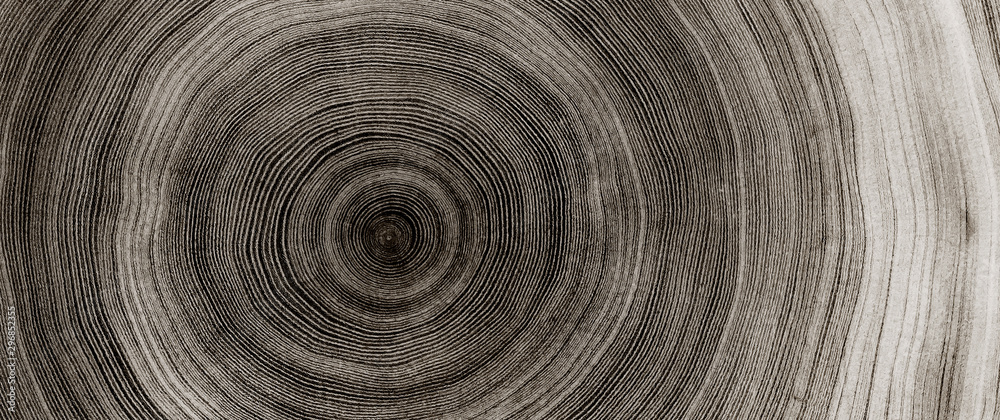 Warm gray cut wood texture. Detailed black and white texture of a felled tree trunk or stump. Rough organic tree rings with close up of end grain.
