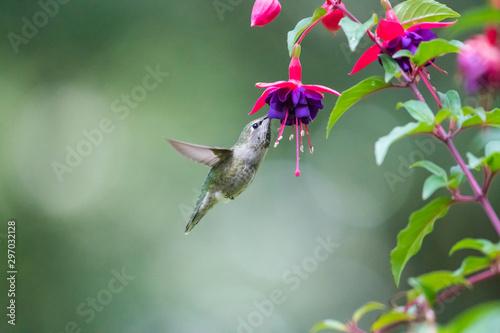 Carta da parati Calliope hummingbird feeds on the nectar of fuchsia flowers