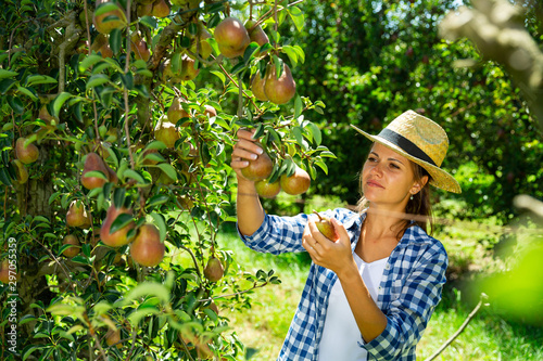 Fotografie, Obraz Woman picking pears in orchard