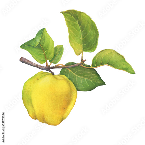 Tableau sur Toile A branch of ripe yellow quince (cytonia) fruit with green leaves