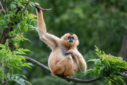 Valokuva Female Yellow-cheeked gibbon in a tree