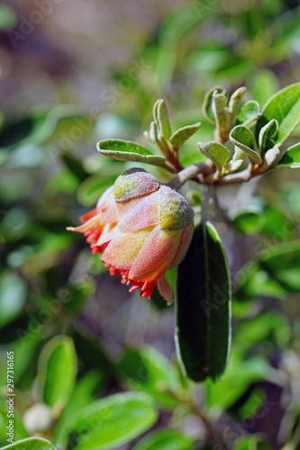Obraz na plátně View of a Murchison rose flower (Diplolaena Mollis) in Kalbarri National Park, W