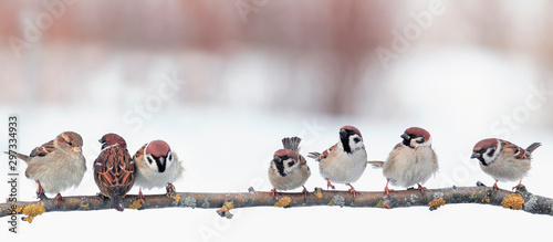 festive panoramic postcard with many little funny birds sparrows sit in the winter garden on a branch