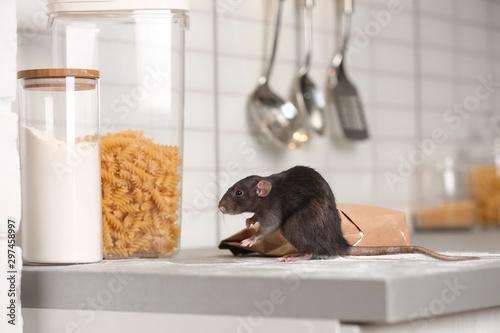 Rat near gnawed bag of flour on kitchen counter. Household pest Fototapeta