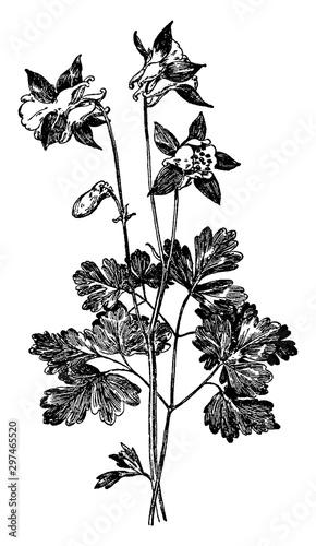 Fotografija Aquilegia Glandulosa vintage illustration.