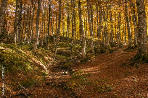 Obraz na plátne Foliage nella faggeta di Prati di Tivo al Gran Sasso, Abruzzo, Italia