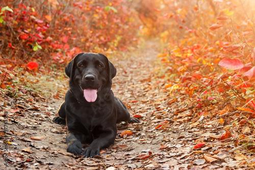 Canvas Print Beautiful black labrador retriever lies against an autumnal forest