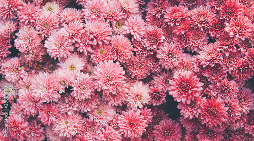 Fotografia Chrysanthemum flowers  as a beautiful autumn background