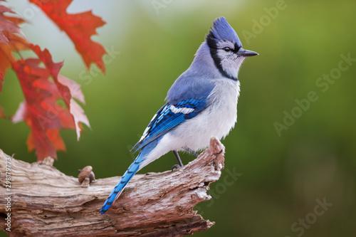 Canvas Print Blue jay in autumn