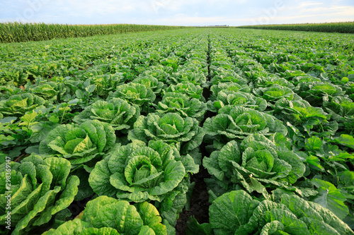 Cuadros en Lienzo Chinese cabbage field at northern China