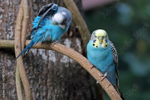 Photo Perruche bleue