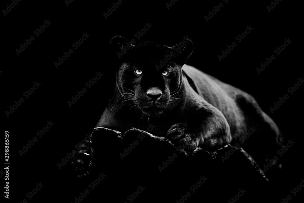 Czarny jaguar z czarnym tłem <span>plik: #298865159 | autor: AB Photography</span>