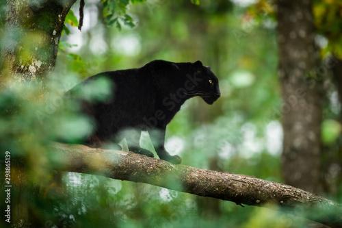 Obraz na plátně Black panther on the tree in the jungle